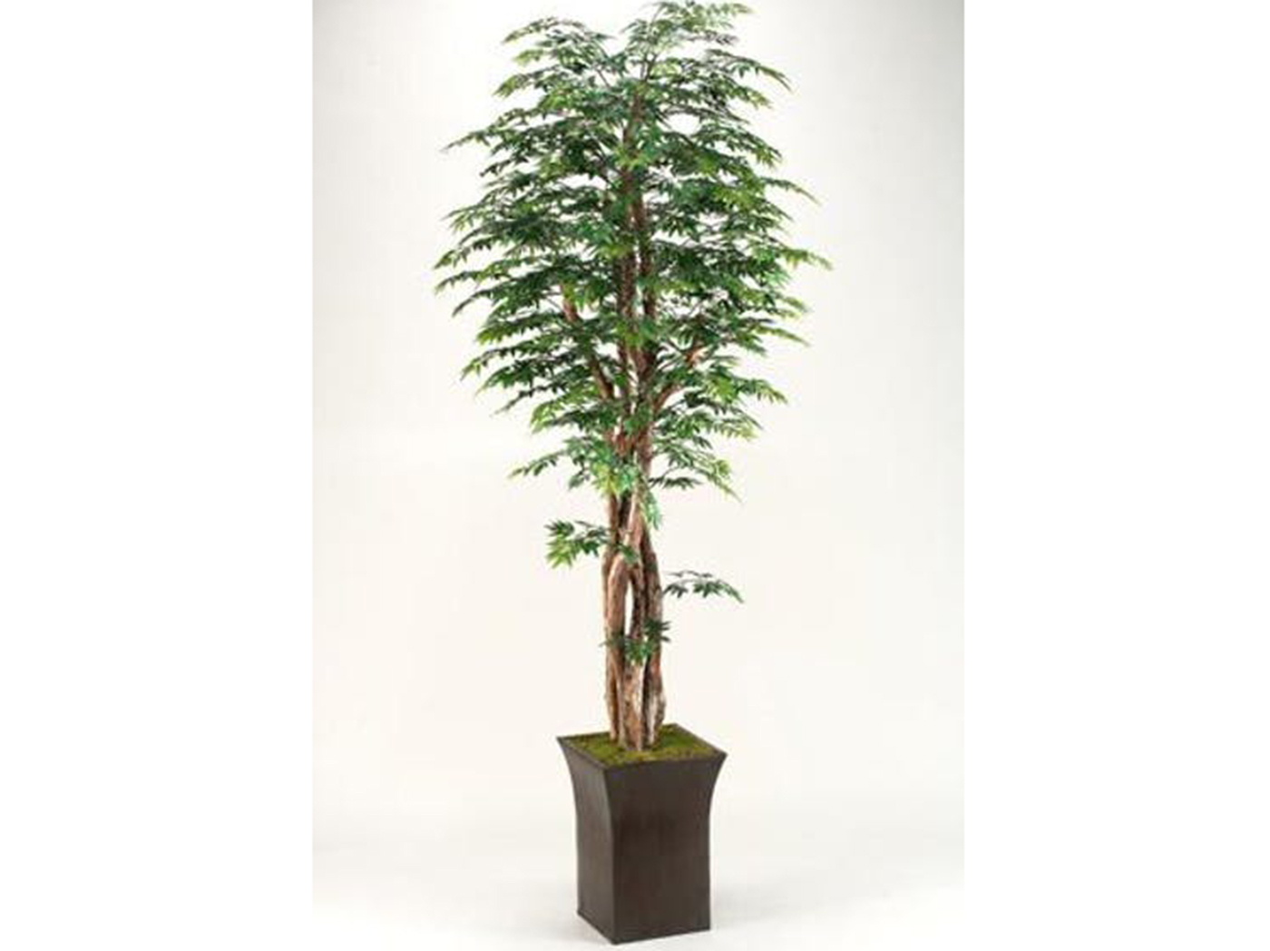 "Ming Aralia Tree in Planter 84""H"