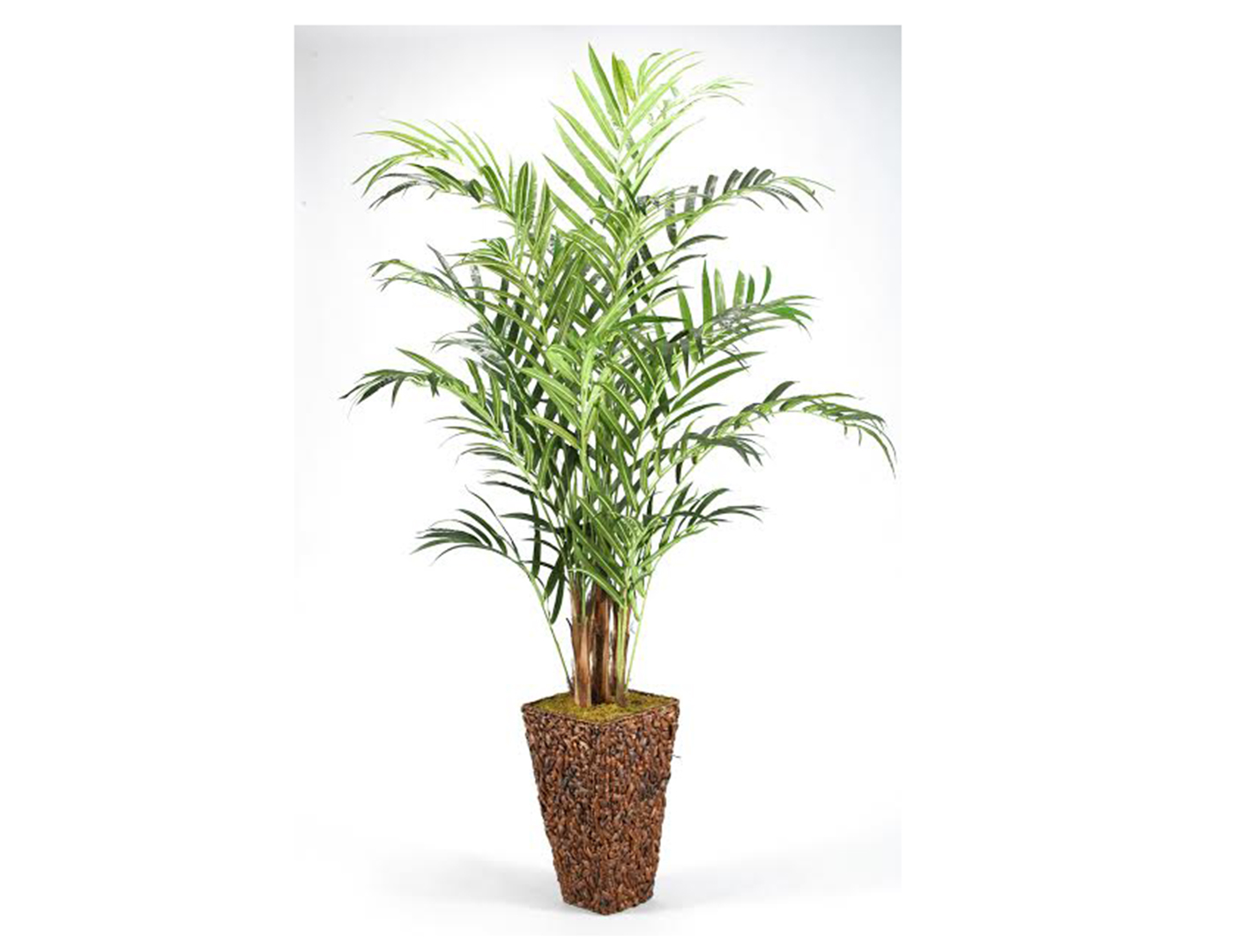 Kentia Palm Tree in Banana Leaf Basket 9'