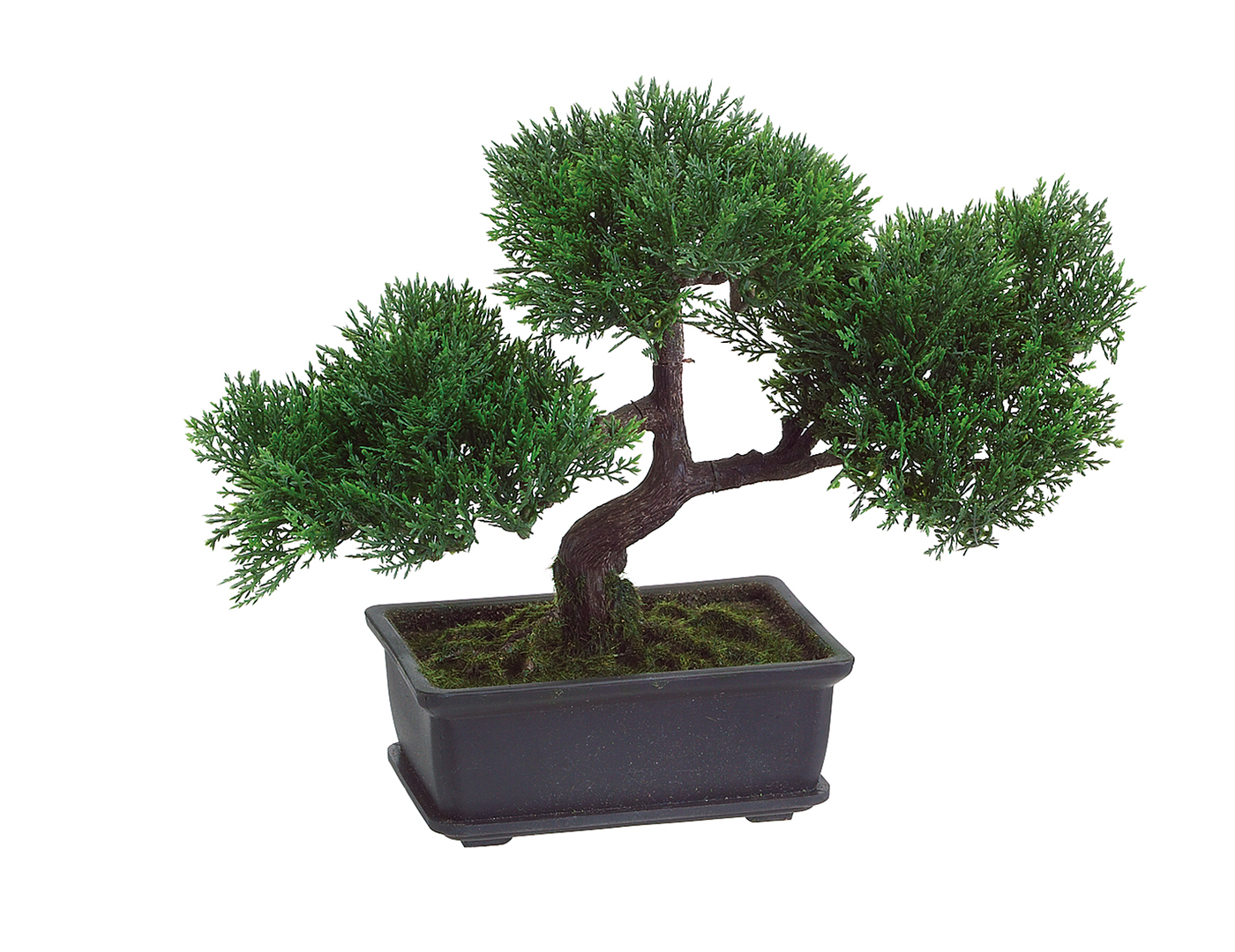 Cedar Bonsai Tree in Pot 9""